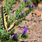 Schwalbenschwanz,  common yellow swallowtail, papilio machaon