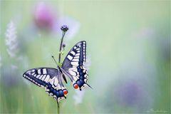 Schwalbenschwanz im Blütenmeer
