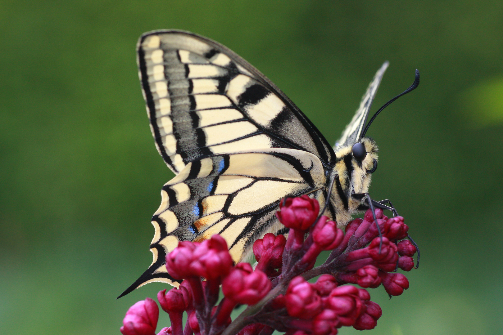 Schwalbenschwanz oder Old World Swallowtail (Papilio machaon) 6