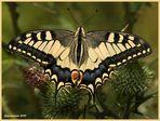 Schwalbenschwanz (Papilio machaon)......