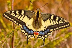 Schwalbenschwanz, Papilio machaon,