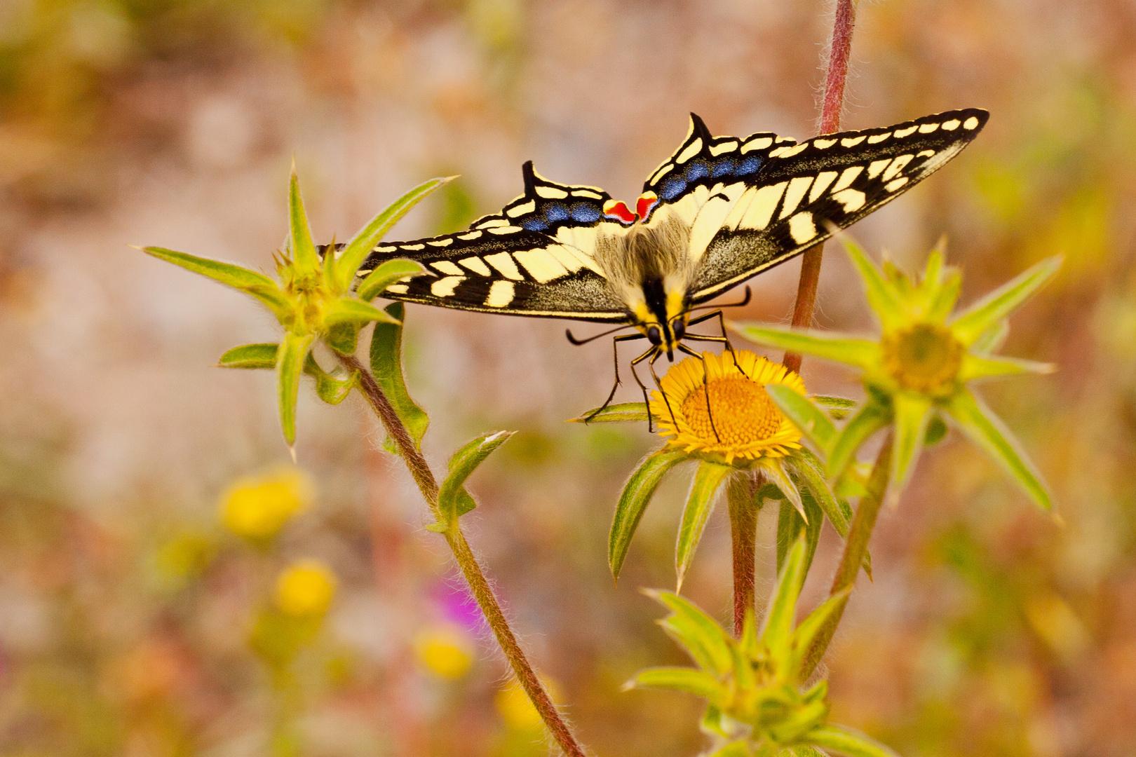 Schwalbenschwanz, Papilio machaon, frontal.