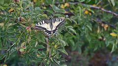 Schwalbenschwanz -Papilio machaon in einer Ruhepause...