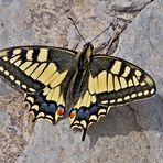 Schwalbenschwanz (Papilio machaon) - Machaon ou Grand porte-queue.