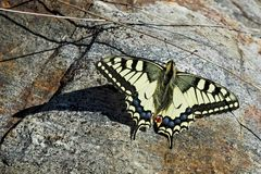 Schwalbenschwanz (Papilio machaon) - Machaon ou Grand porte-queue.