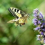 Schwalbenschwanz, (Papilio machaon), Old World swallowtail, Macaón