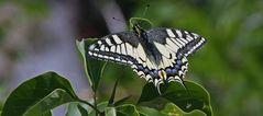 Schwalbenschwanz-Papillo machaon im Böhmischen Mittelgebirge