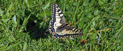 Schwalbenschwanz-Papillo machaon mit dem Tamron aus der Ferne...