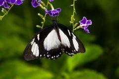 Schwalbenschwanz Schmetterling ( Papilio dardanus) 39