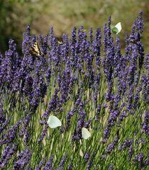 Schwalbenschwanz und andere gierig nach Lavendel-Nektar