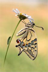 Schwalbenschwanz-Weibchen