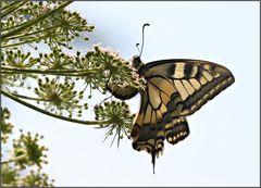 Schwalbenschwanz-Weibchen bei der Eiablage