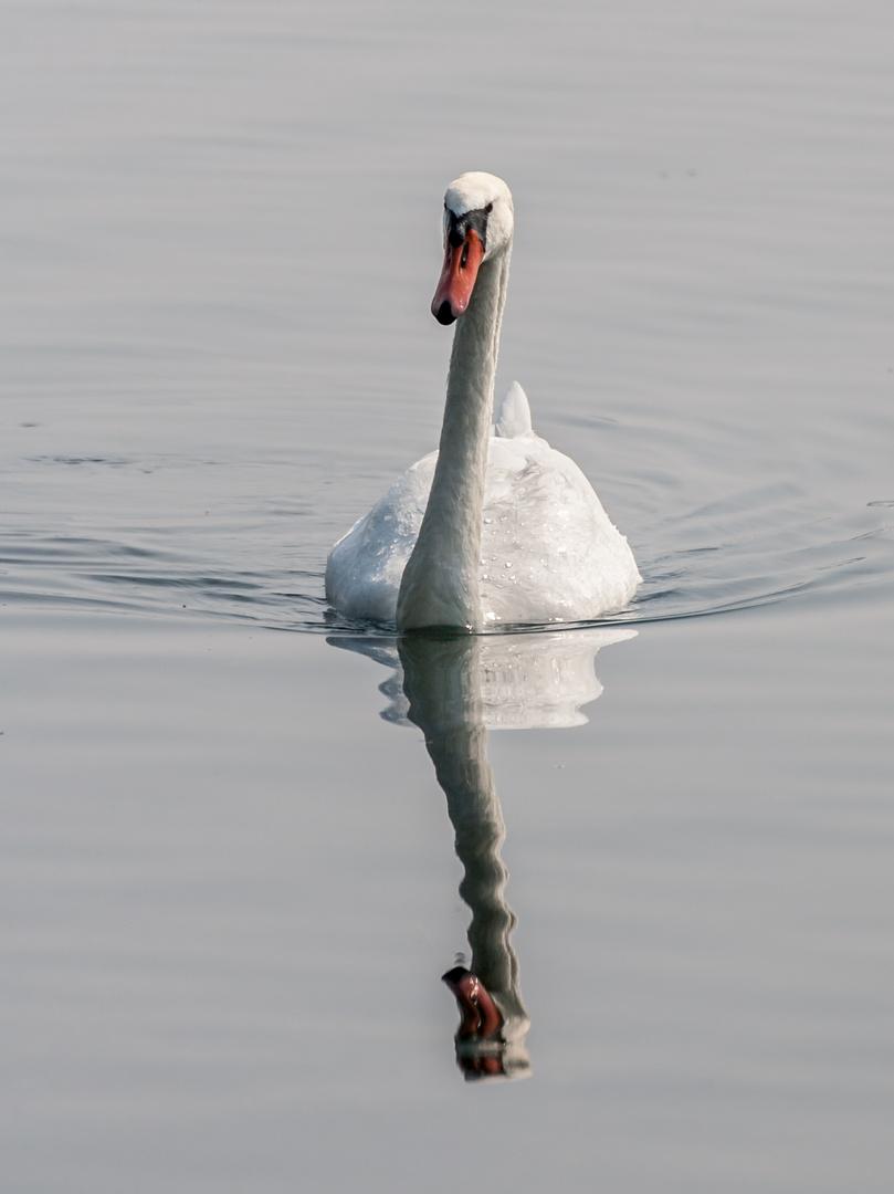 Schwan am Cospuder See