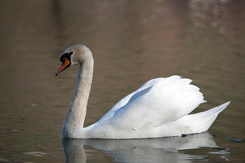 Schwan am Wöhrsee