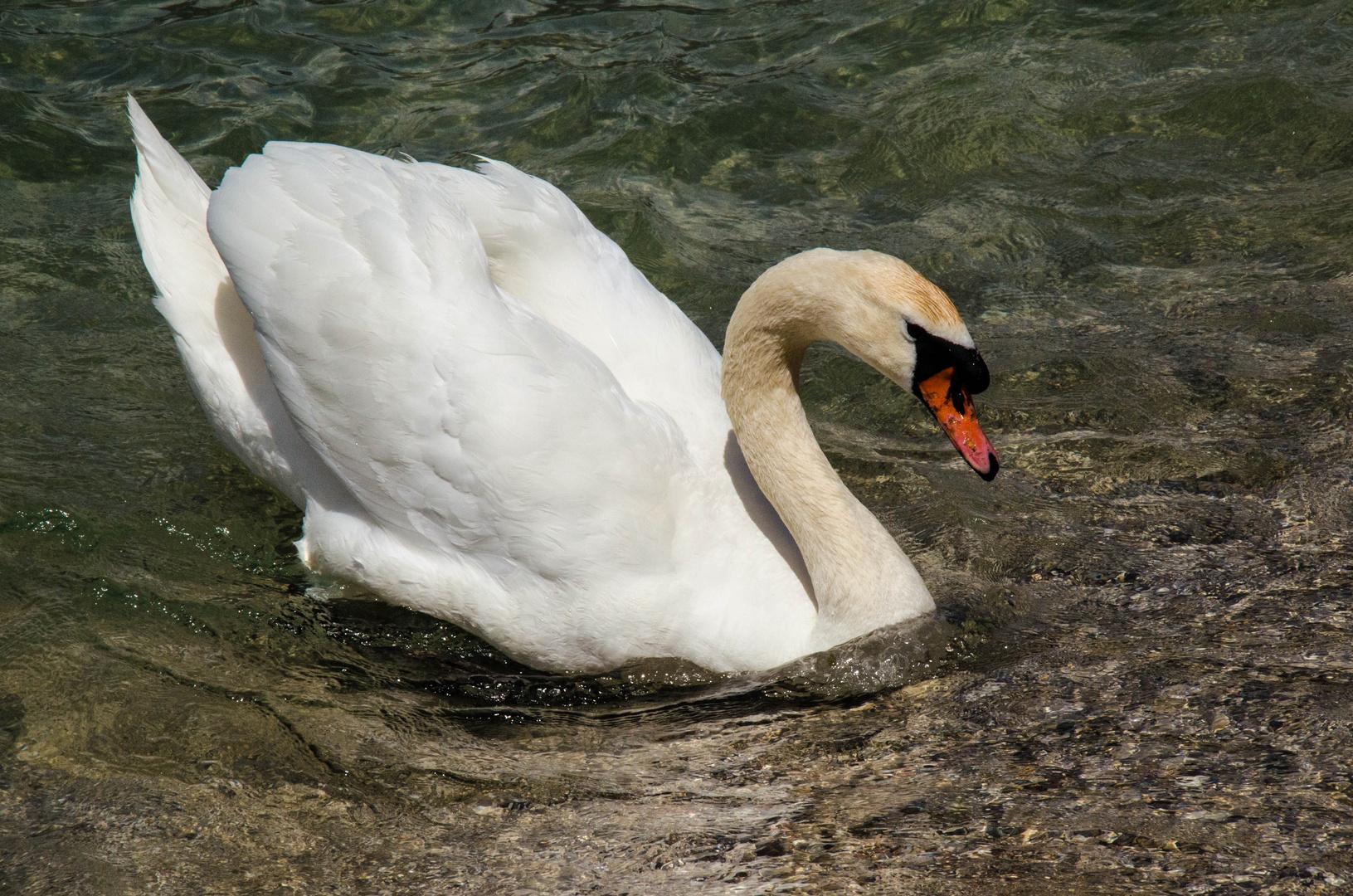Schwan an Gardasee