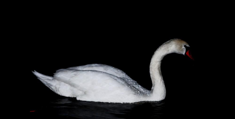 schwan bei nacht