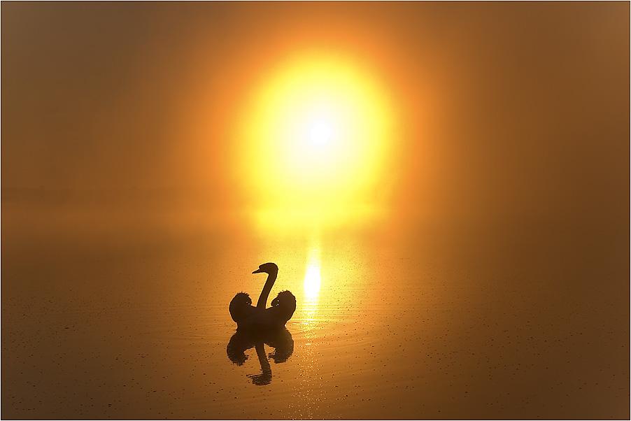 Schwan bei Sonnenaufgang
