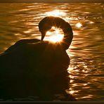 Schwan im Gegenlicht der untergehende Sonne