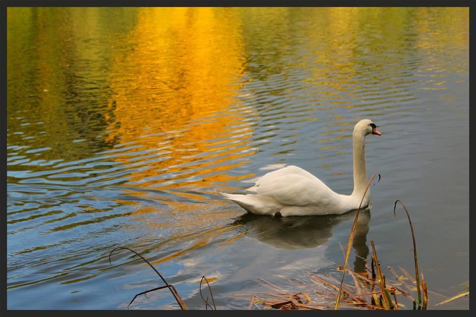 Schwan im Herbst :)