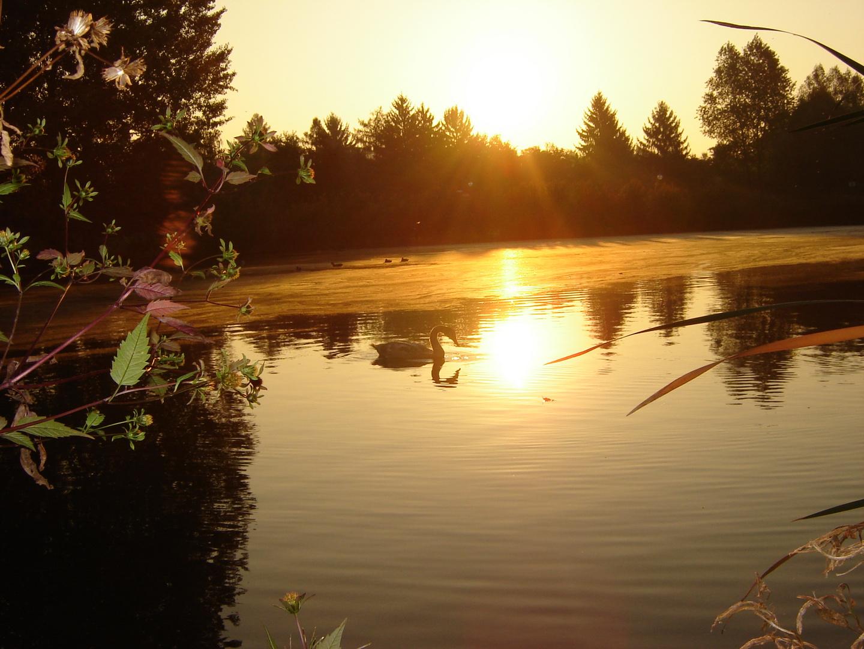 schwan im morgengrauen