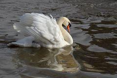 Schwan im Neckar