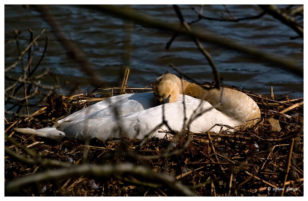 Schwan im Nest