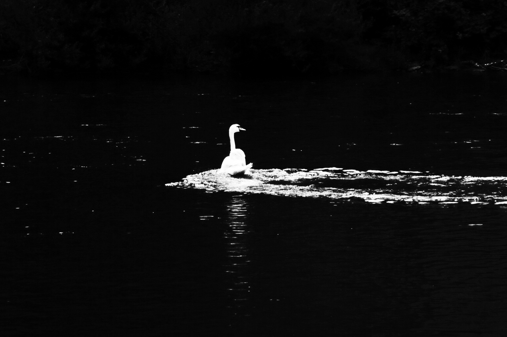 Schwan im Wasser