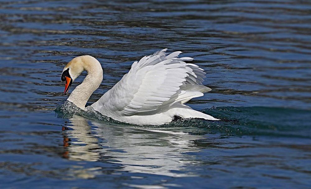 Schwan schwimmt im blauem Wasser