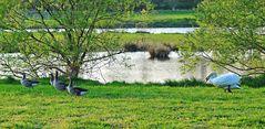 Schwanenattacke auf einen Trupp Graugänse im NSG 'Am Tibaum' in der Lippeaue bei Werne-Stockum