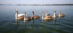 Schwanenfamilie auf dem Bodensee