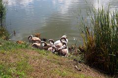 Schwanenfamilie beim Gefiederputz
