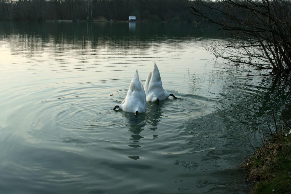 "Schwanensee, oder: das ""Bürzel-Ballett"""