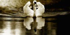 Schwanenspiegel....