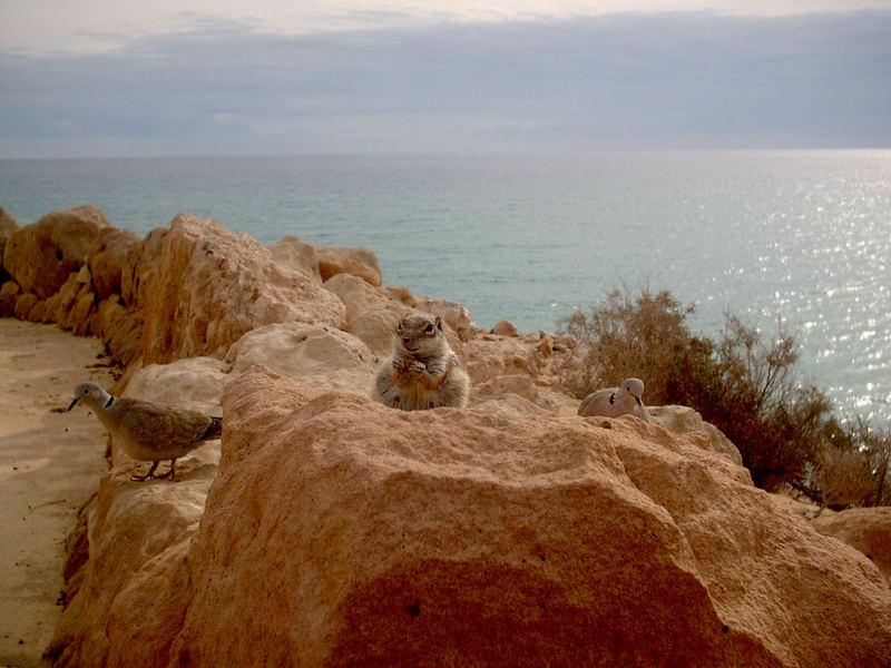 Schwangeres Hörnchen auf Fuerteventura die 2te