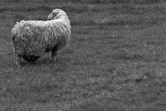 Schwangeres Schaf ???