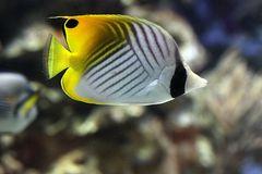 Schwanzfleck-Falterfisch