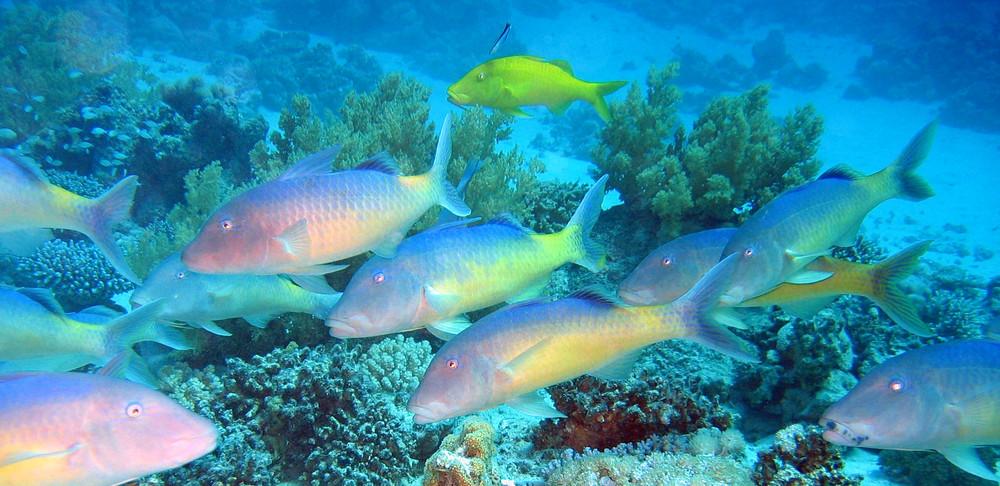 Schwarm Gelbsattel-Meerbarben