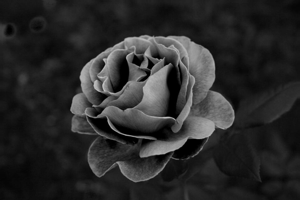 Schwart-Weiss-- Rose