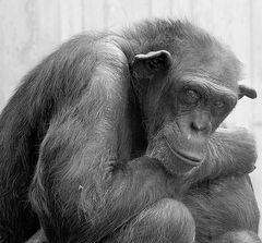 Schwarz auf Weiß : Schimpanse : Hallo Kumpel