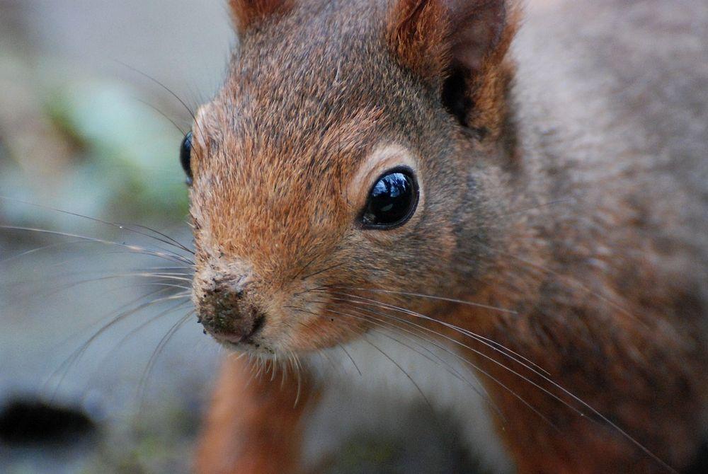 Schwarz-braunes Eichhörnchen