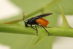 schwarz- orange Fliege