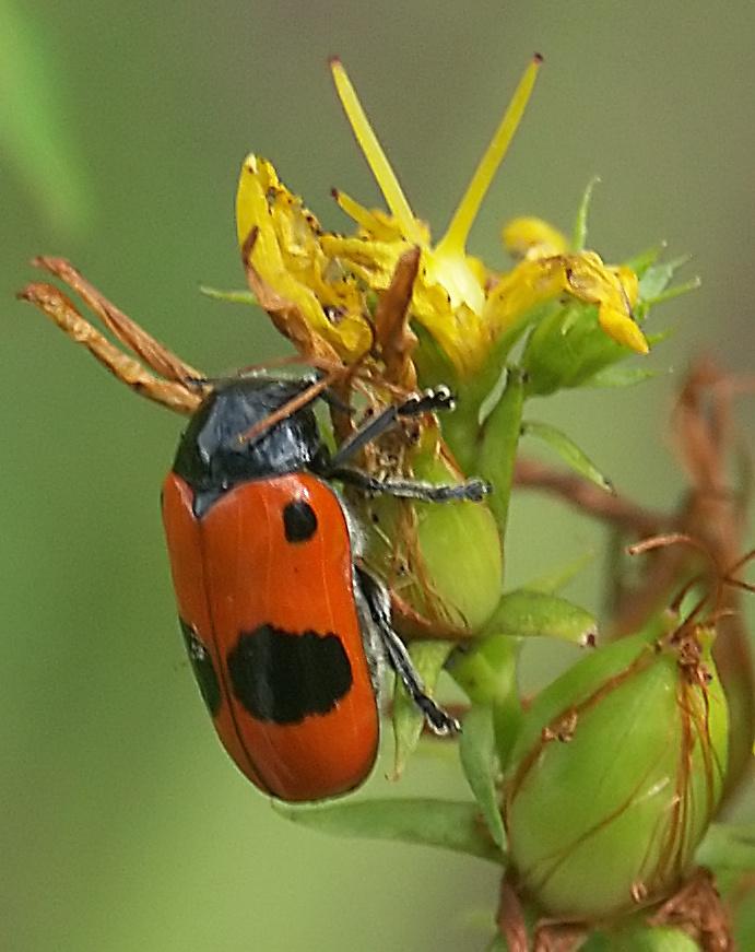 schwarz rot foto bild tiere wildlife insekten bilder auf fotocommunity. Black Bedroom Furniture Sets. Home Design Ideas