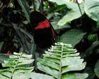 schwarz/ roter Schmetterling