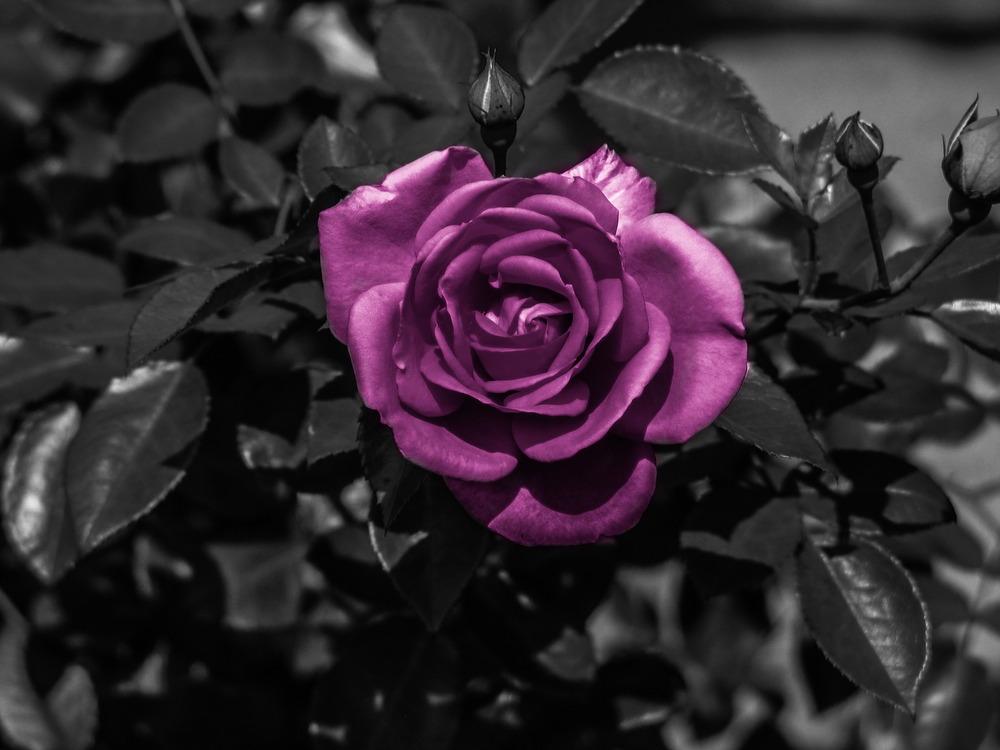 Schwarz-Weiß Aufnahme mit Lila Blume Foto & Bild | pflanzen, pilze ...