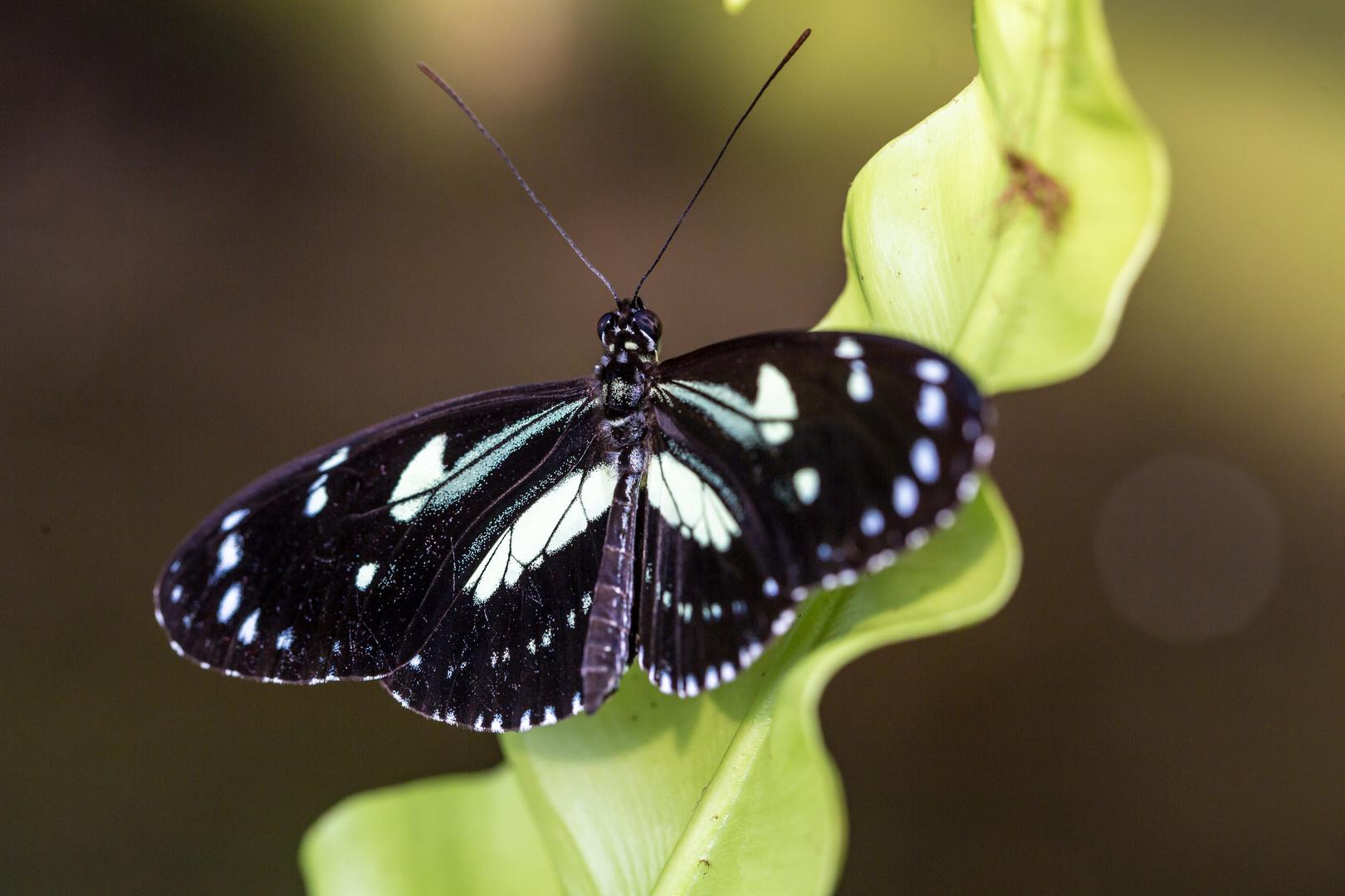 Schwarz-Weiß Falter I
