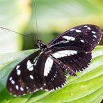 Schwarz-Weiß Falter II
