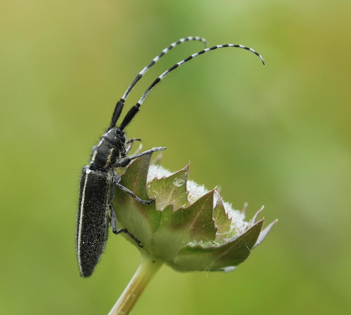 Schwarz-Weiss Käfer