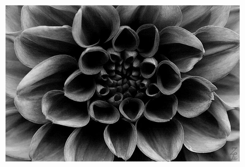 Schwarz-weisse Schönheit 1