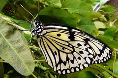 Schwarz-weisser Schmetterling