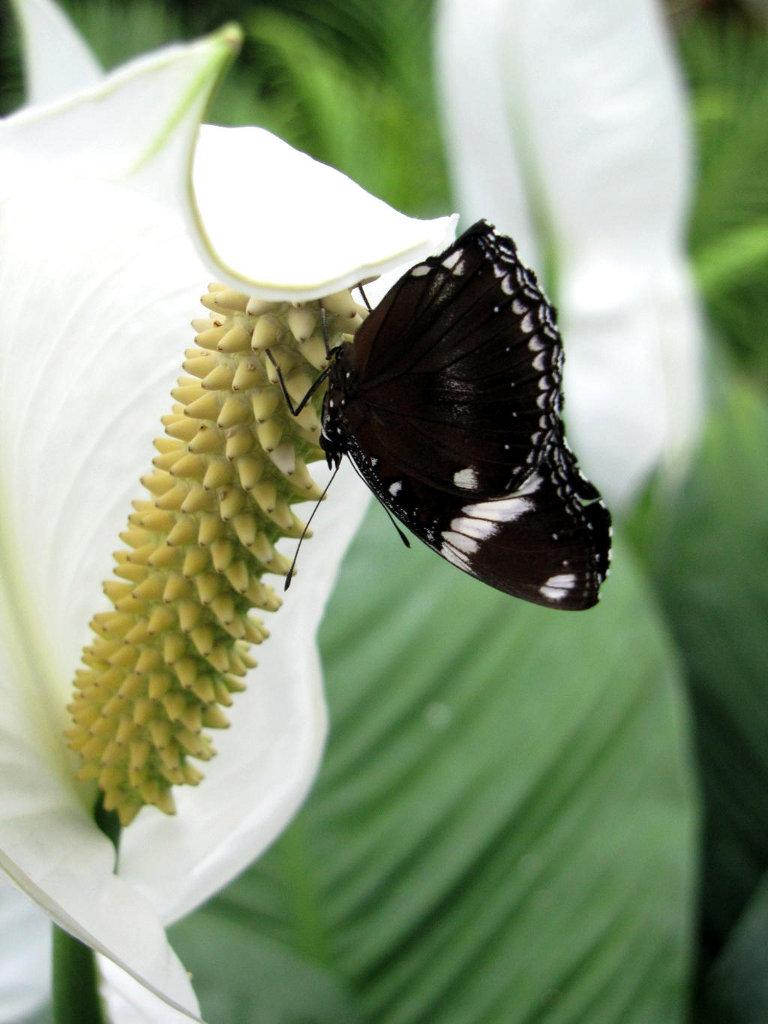 schwarz/ weißer Schmetterling auf Blüte
